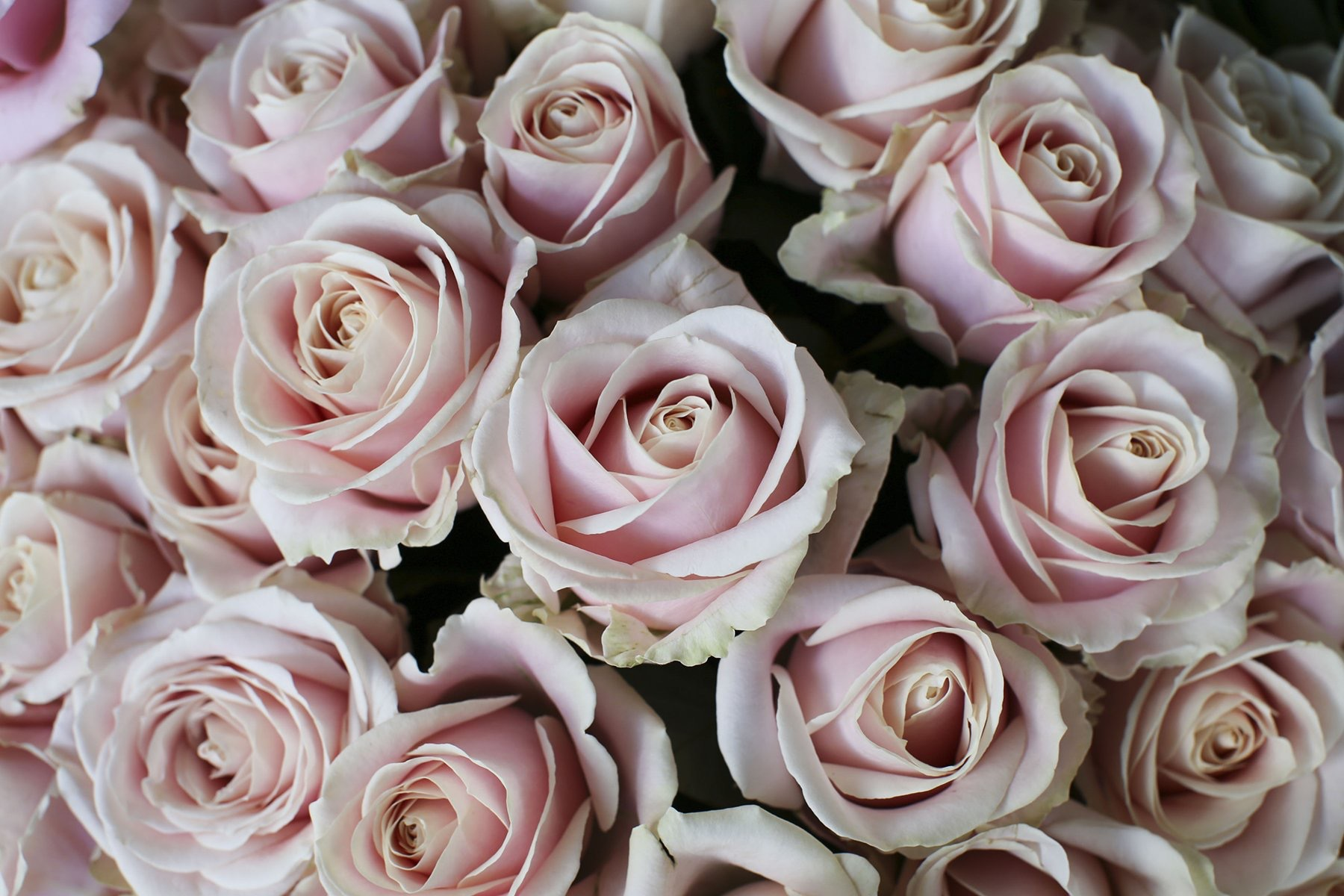 Sweet Avalanche soft pink luxury rose bouquet.