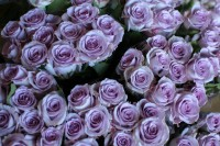 Pale lavender roses with an antique feel.